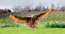 MAGNIFICENT EAGLE OWL by John Holmes