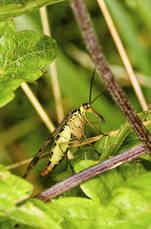 scorpion-fly.jpg