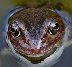 FROG IN A POND by Richard Peters