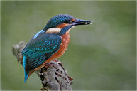kingfisher with catch by ron edwards.JPG