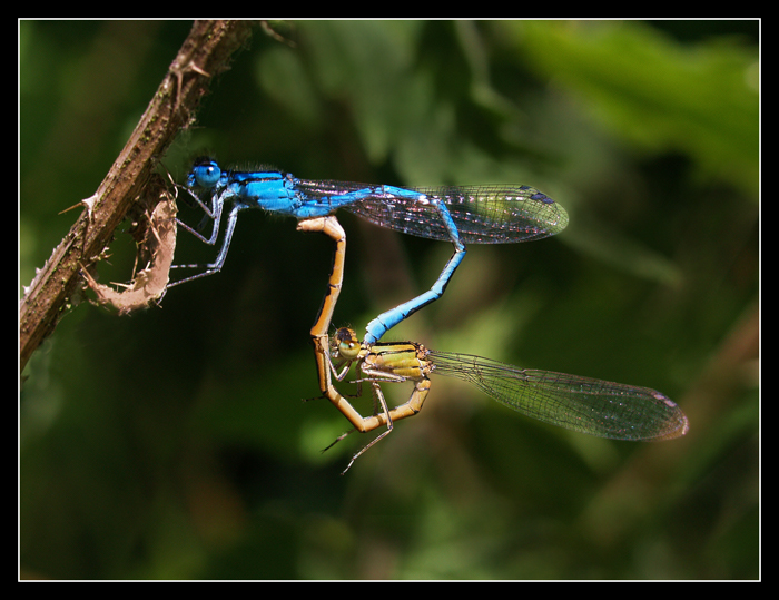 commonbluedamselfly