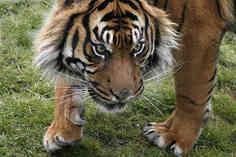 tiger on the turn.jpg