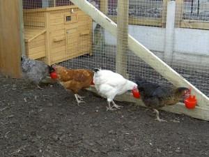 Yokshire Poultry Shack