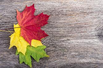 Autumn maple leaves on gray wooden backg
