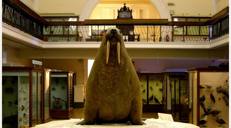 Walrus-at-heart-of-Natural--History-Gallery-in-Horniman-Museum-and-Gardens-photo