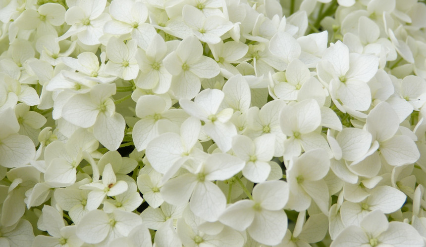 white-flowers-2465604.jpg