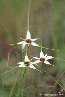 Rhynchospora consanguinea