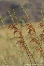 Lagenocarpus rigidus