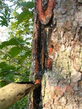sap from tree.jpg.jpg