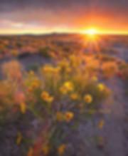 Sunflowers-sunset.jpg