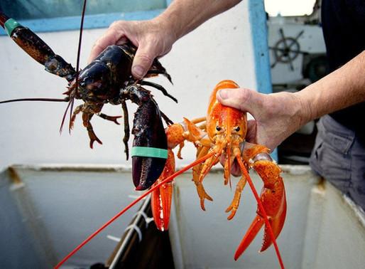 Canicule: Des homards cuisent dans le Golfe du St-Laurent