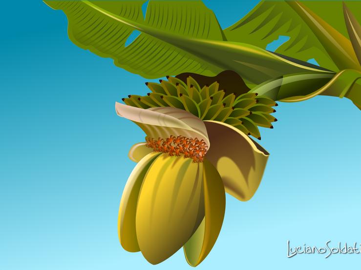 Banano.png