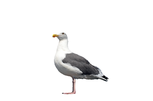 kisspng-gulls-great-black-backed-gull-bi