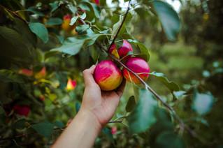 Apple Picking - 9/19