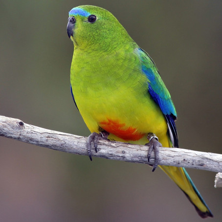 Orange-bellied, blue winged, elegant or rock parrot - what's the difference?