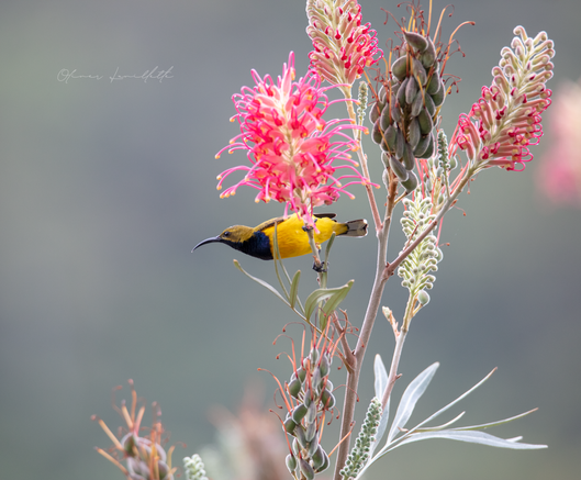 Male Olive Backed Sunbird