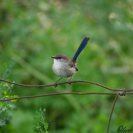 Identifying female fairy-wrens