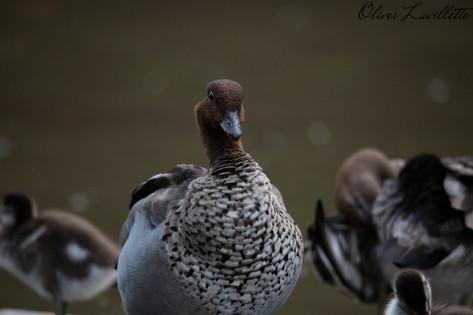 Male Maned Duck