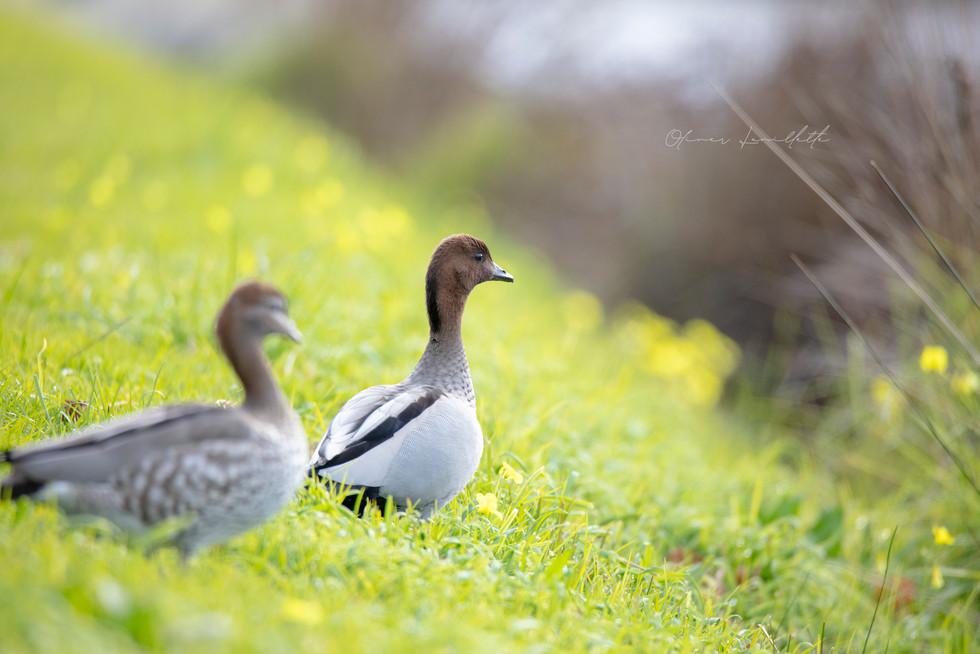Maned Ducks