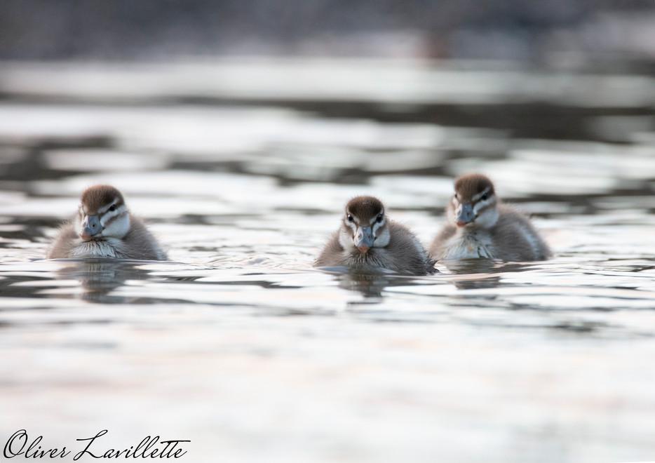 Maned Duck, Ducklings