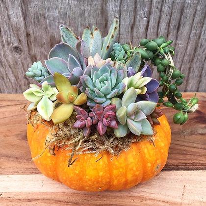 Medium Succulent Pumpkin (various colours)