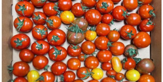 OP Zenner Cherry Tomatoes (MI)