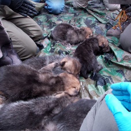 Sedgwick County Zoo releases endangered Mexican Wolf pups to the wild