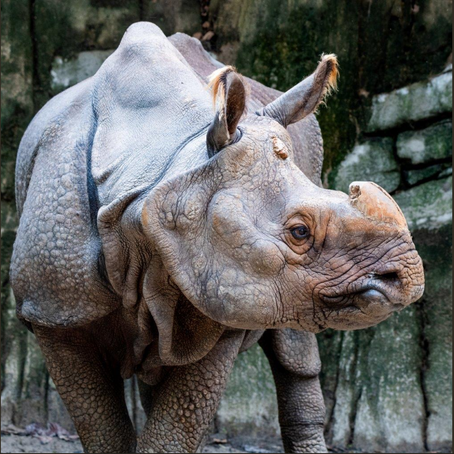 Oklahoma City Zoo welcomes two new Indian rhinos
