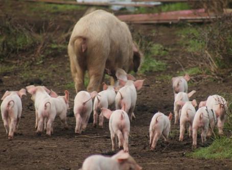 Schweine: Stärkung des Immunsystems von Ferkeln
