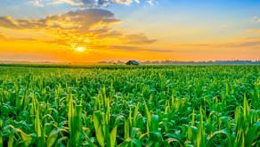 Mais und Fruchtbarkeit – warum kann es da Probleme geben?
