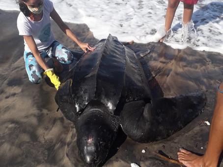 Relato de caso: Situação de encalhe de um indivíduo vivo de Dermochelys coriacea no sul da Bahia.