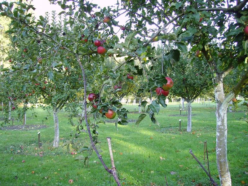 verger-conservatoire-pommes