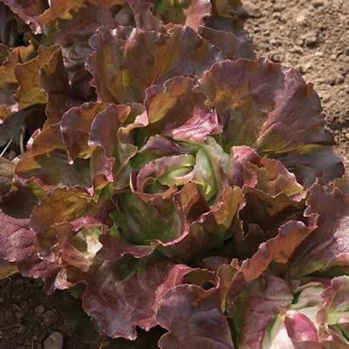 Red butterhead lettuce (1 head)