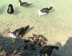 Ducks and ducklings.jpg