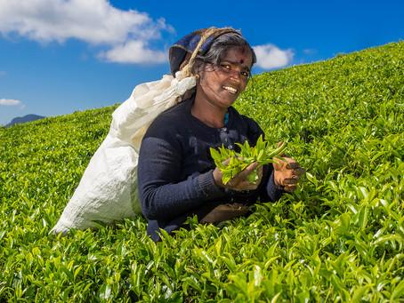 Nuwara Eliya čajeva polja - Šrilanka FotoPOTEP