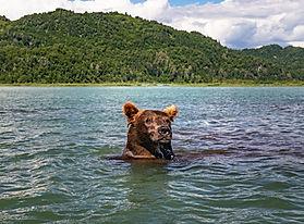 aljaska medved.jpg