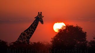 Fotografiranje žiraf - živali, ki se dotikajo neba