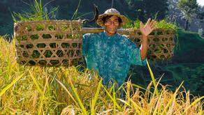 Tegallalang terasasta riževa polja / Bali