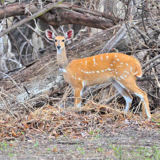 Shy bushbuck and be seen in th peace and quiet of The Woodlands at Waterberry Lodge on the Zambezi, Zambia