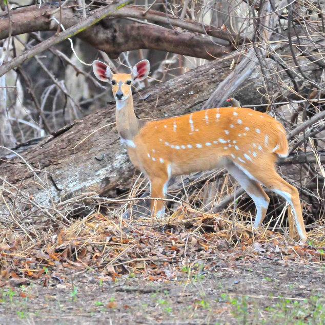 antelope in grounds 29.11.15 LR.jpg