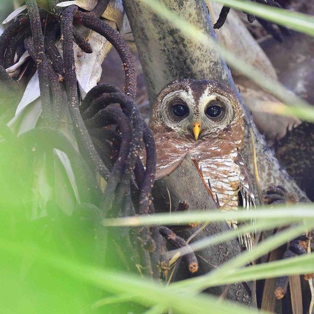 owl LR.jpg