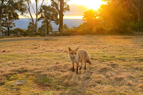 Fox on the Mount