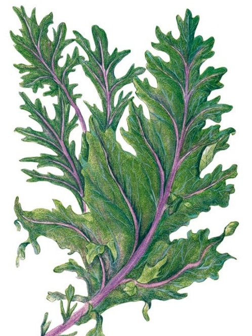 Kale -  Red Russian (100 seeds)