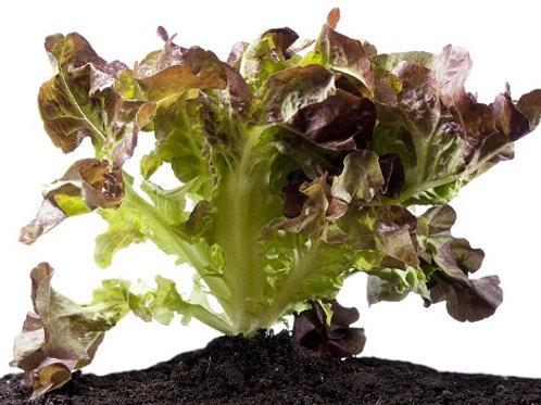 Lettuce - Red Oak