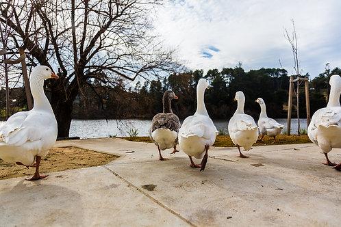 'Geese' Fine Art Print