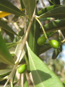 Olives - 02.jpg