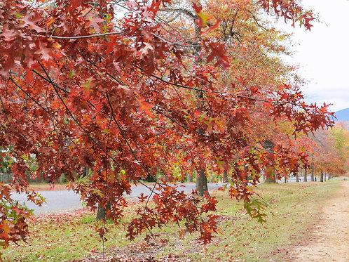 Autumn in Honour Avenue