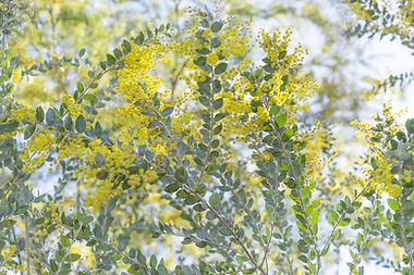 Native Australian Wattle, New beginnings. Calm and Happy.