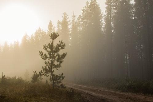 Macedon Pine Forest