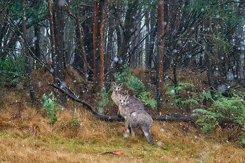 Kangaroos, Macedon Regional Park